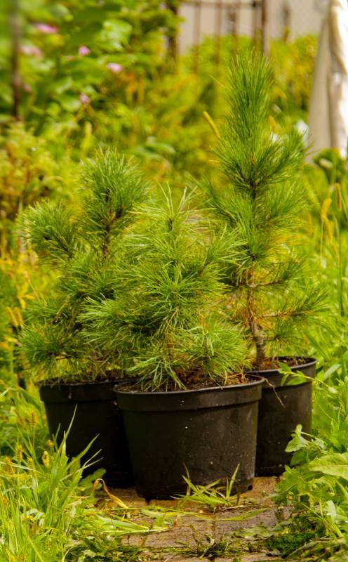 Кедровая сосна сибирская выращивание 85
